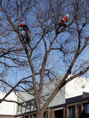 climbers pruning